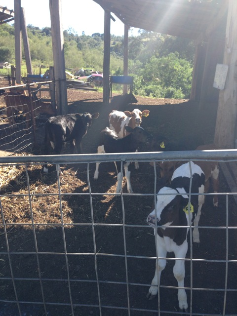 Dairy calves on Country Valley Dairy farm